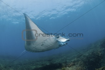 Flight of the mantaray