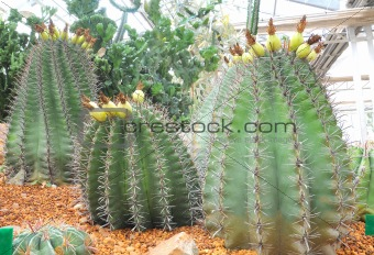 cactus plants in a greenhouse