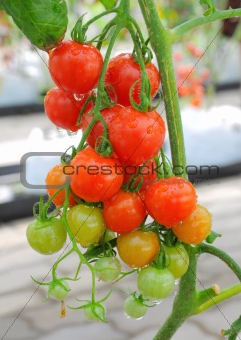 multicolored of tomato