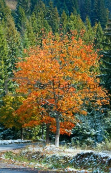 First winter snow and autumn colorful tree near mountain road