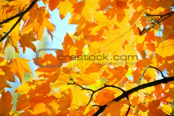 autumn maple trees in  park