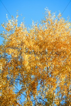 autumn birch tree