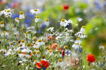 abundance of blooming wild flowers in the garden at spring time