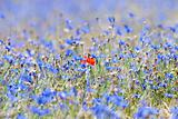 wild flowers at spring time - a single poppy in the field of cornflowers