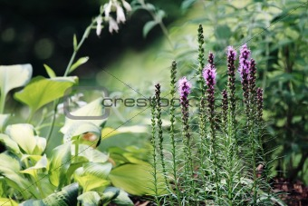 Liatris or Blazing Star