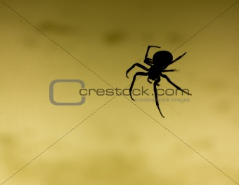 scary black spider
