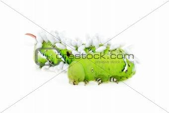 Tomato Horn Caterpillar