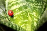Beautiful ladybird on the leaf ficus