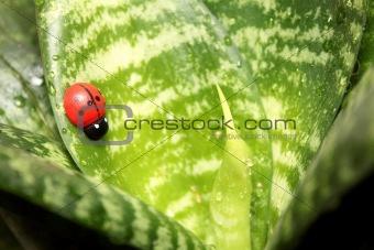 Beautiful ladybird on the leaf ficus