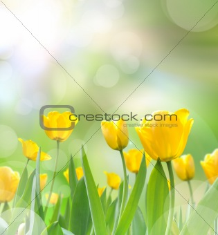 beautiful yellow tulips with light reflect in morning