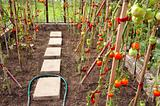 Vegetable tomato grow ripe in glass greenhouse