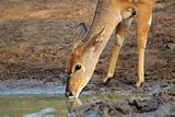 Nyala antelope drinking