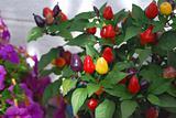 Chilli peppers in garden