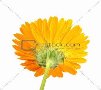 Back-side of orange flower isolated