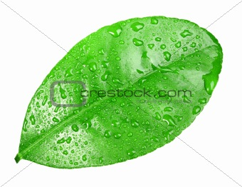 One green leaf with dew-drops