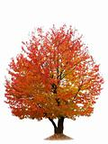Autumn cherry tree isolated on white