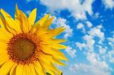 part of sunflower
