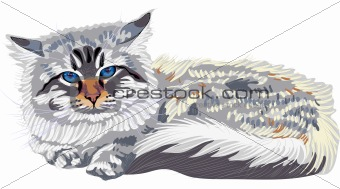 vector sketch the cat breed Siberian cat color-point (Neva Masqu