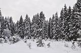 Snow-covered fir in winter forest