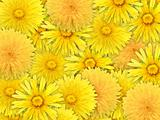 Abstract background of yelow flowers