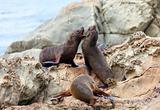 Sea Lion's life