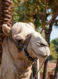 Head of a dromedary camel