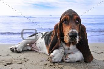 basset hound on a beach