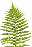 fern's leaf