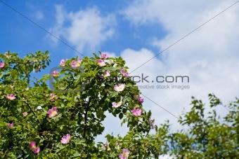 blossom of Fructus cynosbati