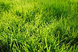 Grass in a sunlight