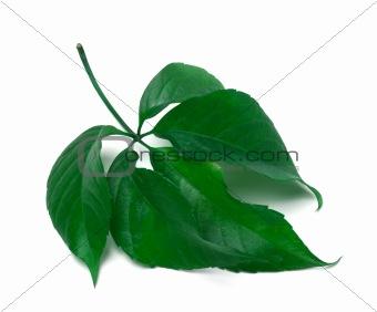 Green virginia creeper leaves