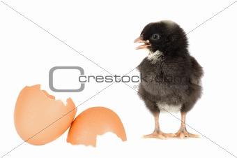 Black chicken with a broken eggshells