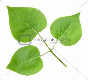 Three green leafs of lilac