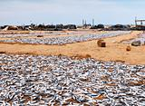 Drying fish on the shore