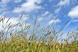 Corn on the blue sky