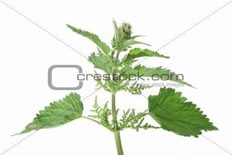 Green leafs of nettle