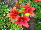 beautiful redheaded lilies