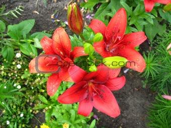 beautiful redheaded lilies
