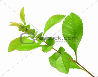 Single young branch with green leaf