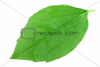 Single green leaf of jasmine