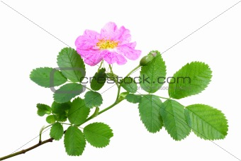 Single branch of dog rose