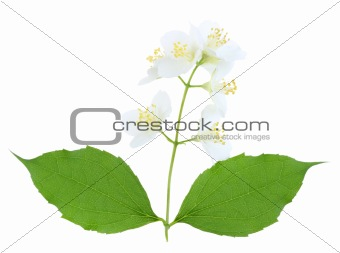 Branch of jasmine with leaf and flowers