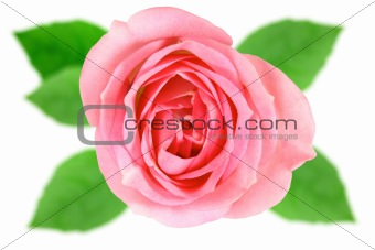 Single pink flower of rose