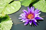 Purple Lotus in pool