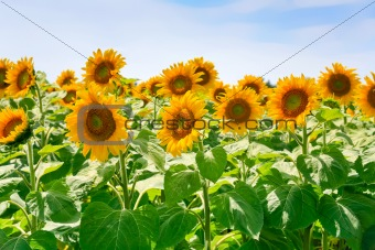 sunflower field in Alsace, France