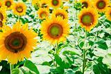 sunflower field in Alsace, France