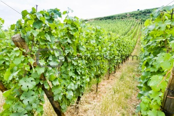 vine beds at vineyard in Alsace, France