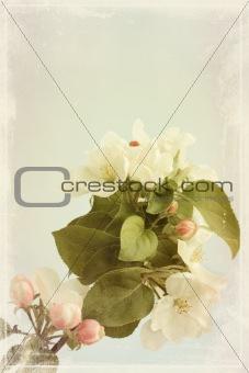 apple flowers old photo
