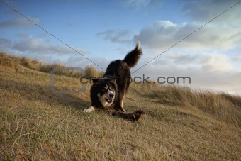 A border collie playing in the grass