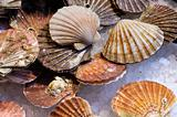 Fresh scallops